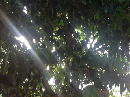 Mango Tree View